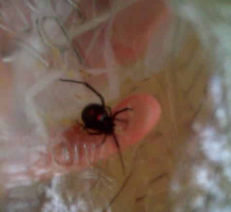 North Carolina Black Widow Spider
